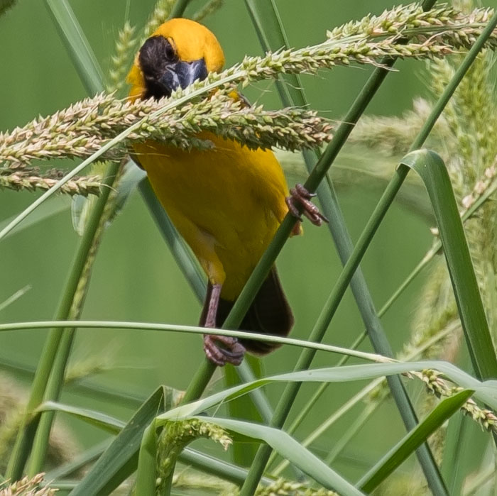 Asian Golden Weaver, Ploceus hypoxanthus, นกกระจาบทอง