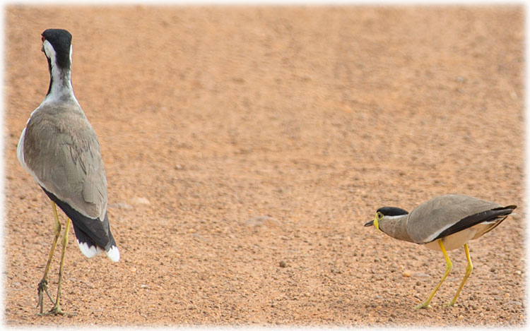 Red-wattled lapwing and Yellow-wattled lapwing