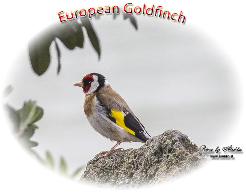 Birdwatching On New Zealand European Goldfinch Or Goldfinch
