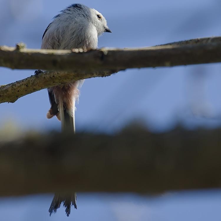 Long-tailed Tit (Aegithalos caudatus) :: xeno-canto
