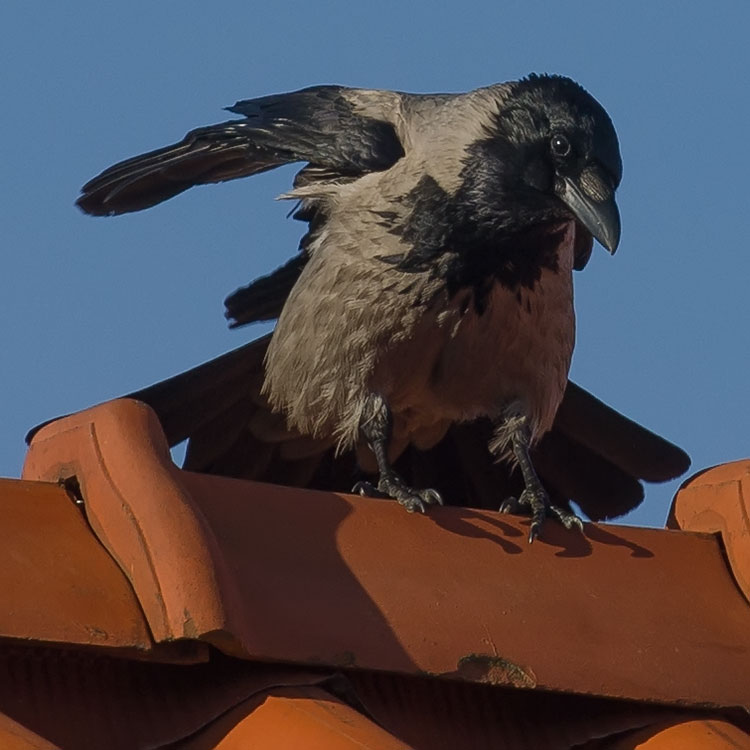 Crow 3d Model Free Download