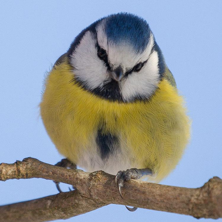 Birding/ Bird watching in Sweden - Eurasian Blue Tit