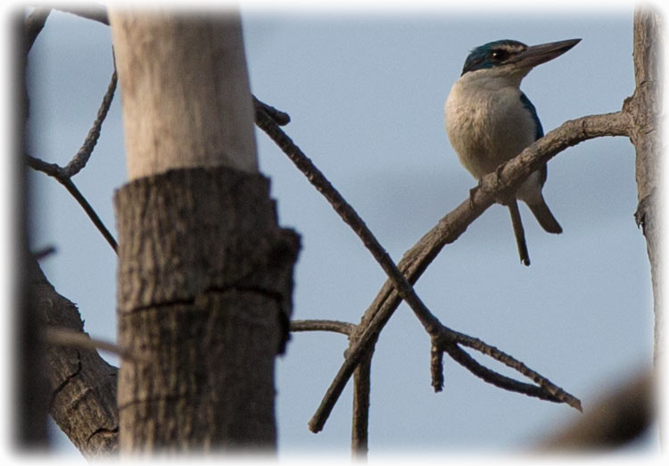 Collared Kingfisher, Todiramphus chloris, นกกินเปี้ยว