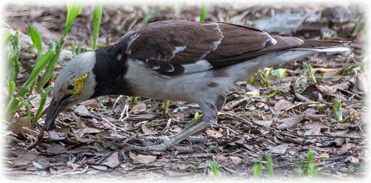 Black-collared Starling, Gracupica nigricollis, นกกิ้งโครงคอดำ
