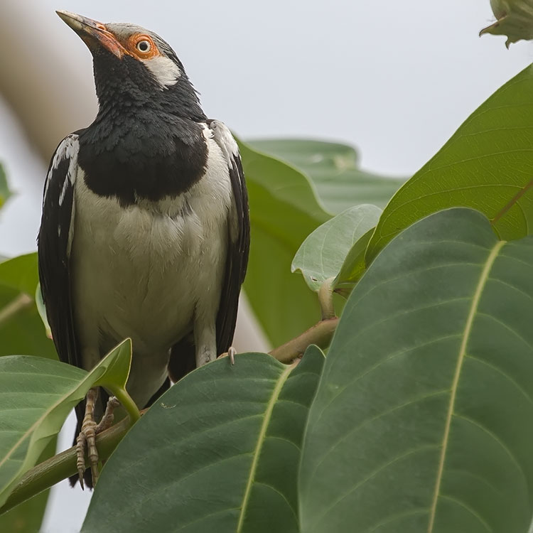 Pied Myna (Asian Pied Starling), Gracupica contra, นกอีแจว