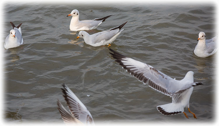 Brown-headed Gull, Chroicocephalus brunnicephalus, นกนางนวลธรรมดา