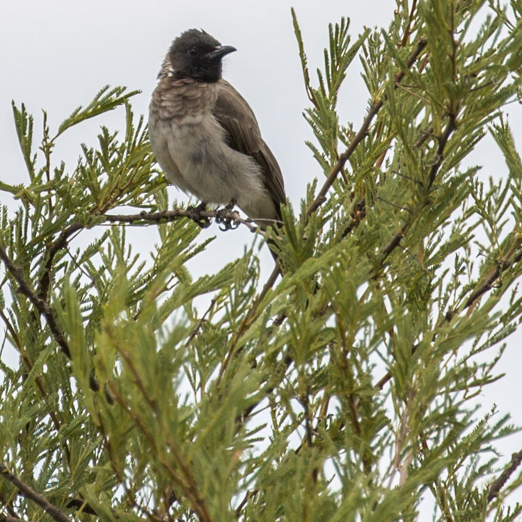 Birding/ Bird watching in Djibouti - Common Bulbul, Somali Bulbul, Pycnonotus barbatus, Pycnonotus somaliensis